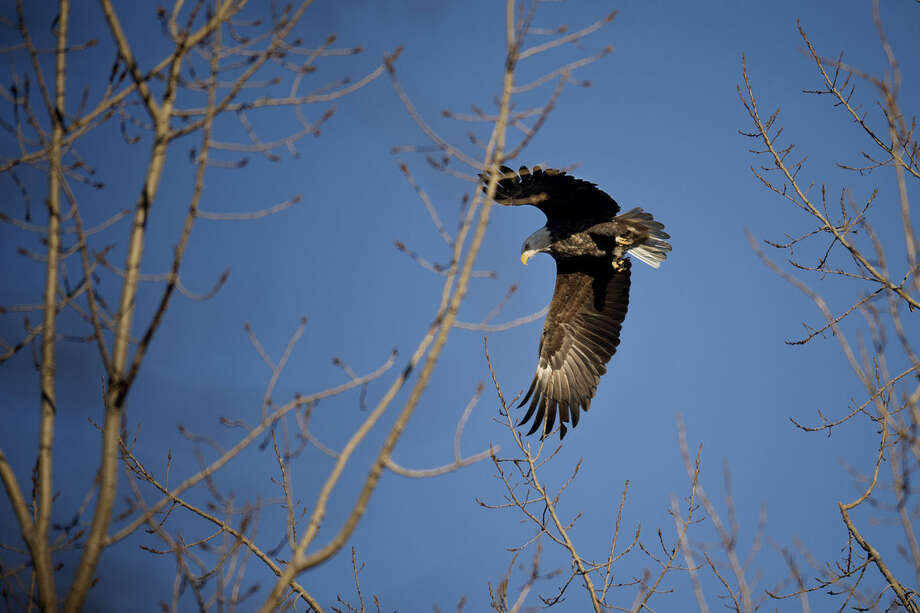 An eagle takes off from its perch on a branch alongside Gordonville Road. Photo: SEAN PROCTOR | Sproctor@mdn.net