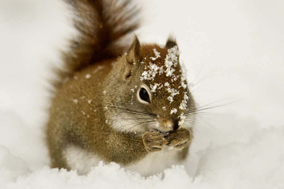 A Red squirrel hunts for food buried under the snow by the Wildlife Viewing Area at the Chippewa Nature Center on Wednesday. January 21st is Squirrel Appreciation Day. Red squirrels stay active throughout the winter and can usually be found out and about during the warmest parts of the day. Photo: Neil Blake/Midland Daily News
