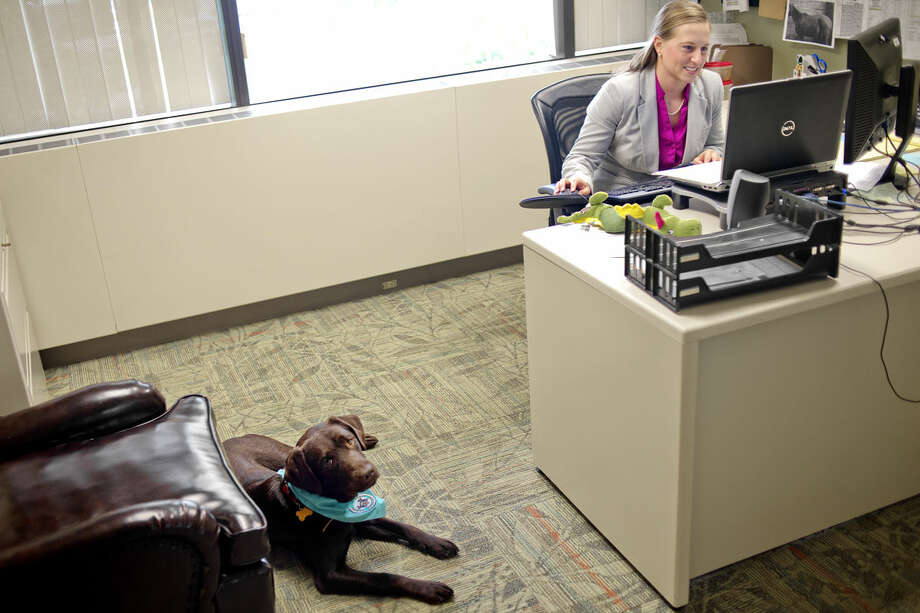 Midland County Assistant Prosecuting Attorney Atea Duso, right, works in her office as the department's canine advocate dog, Joey, rests nearby on Monday. Joey, a chocolate lab, will work to calm children who have to testify in court. Duso keeps Joey at her home and is co-handler with Victim Rights Coordinator Kelly Allen. Photo: Nick King | Midland Daily News