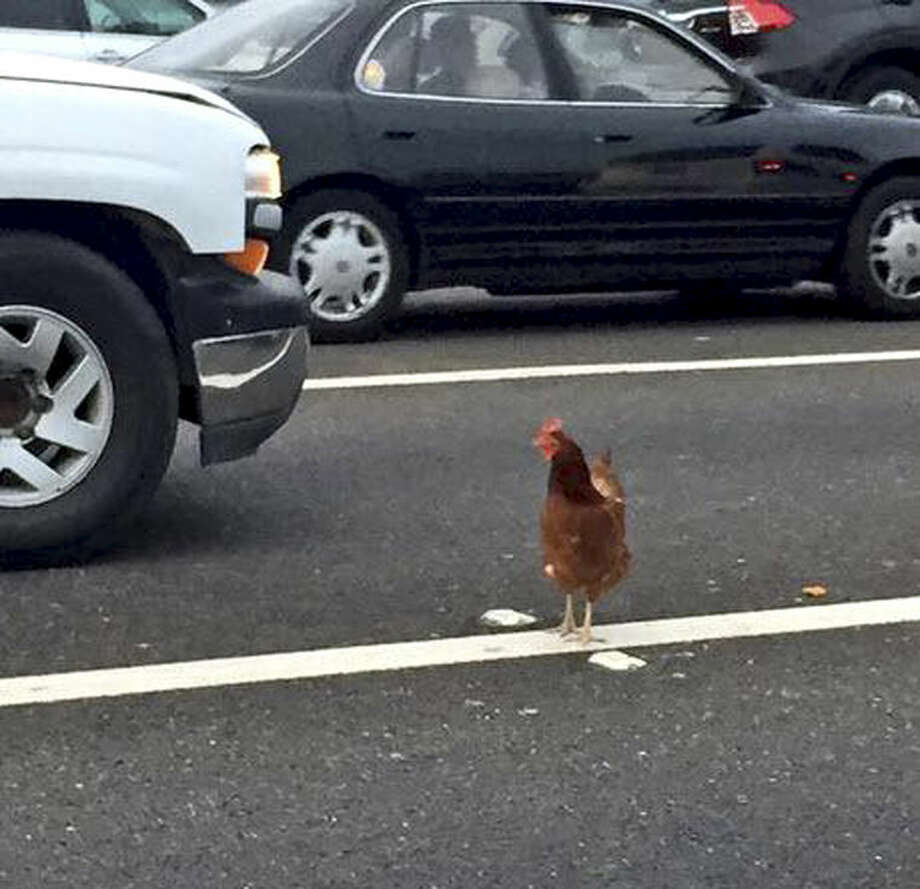 In this Wednesday, Sept. 2, 2015 photo, a brown chicken runs across the road through the lanes of a toll plaza on the Bay Bridge in San Francisco. California Highway Patrol officers managed to capture the felonious chicken that fouled up rush-hour traffic on the bridge. (Jeff Chu via AP) MANDATORY CREDIT Photo: Jeff Chu