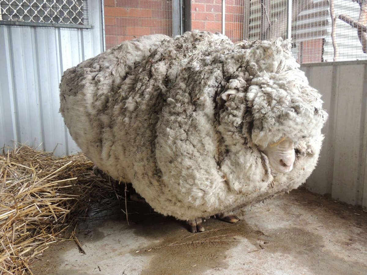 In this photo provided by the RSPCA/Australian Capital Territory, an overgrown sheep found in Australian scrubland is prepared to be shorn in Canberra, Australia, Thursday, Sept. 3, 2015. The wild, castrated merino ram named Chris, yielded 40 kilograms (89 pounds) of wool - the equivalent of 30 sweaters - and sheded almost half his body weight. (RSPCA ACT/ via AP) EDITORIAL USE ONLY, NO SALES
