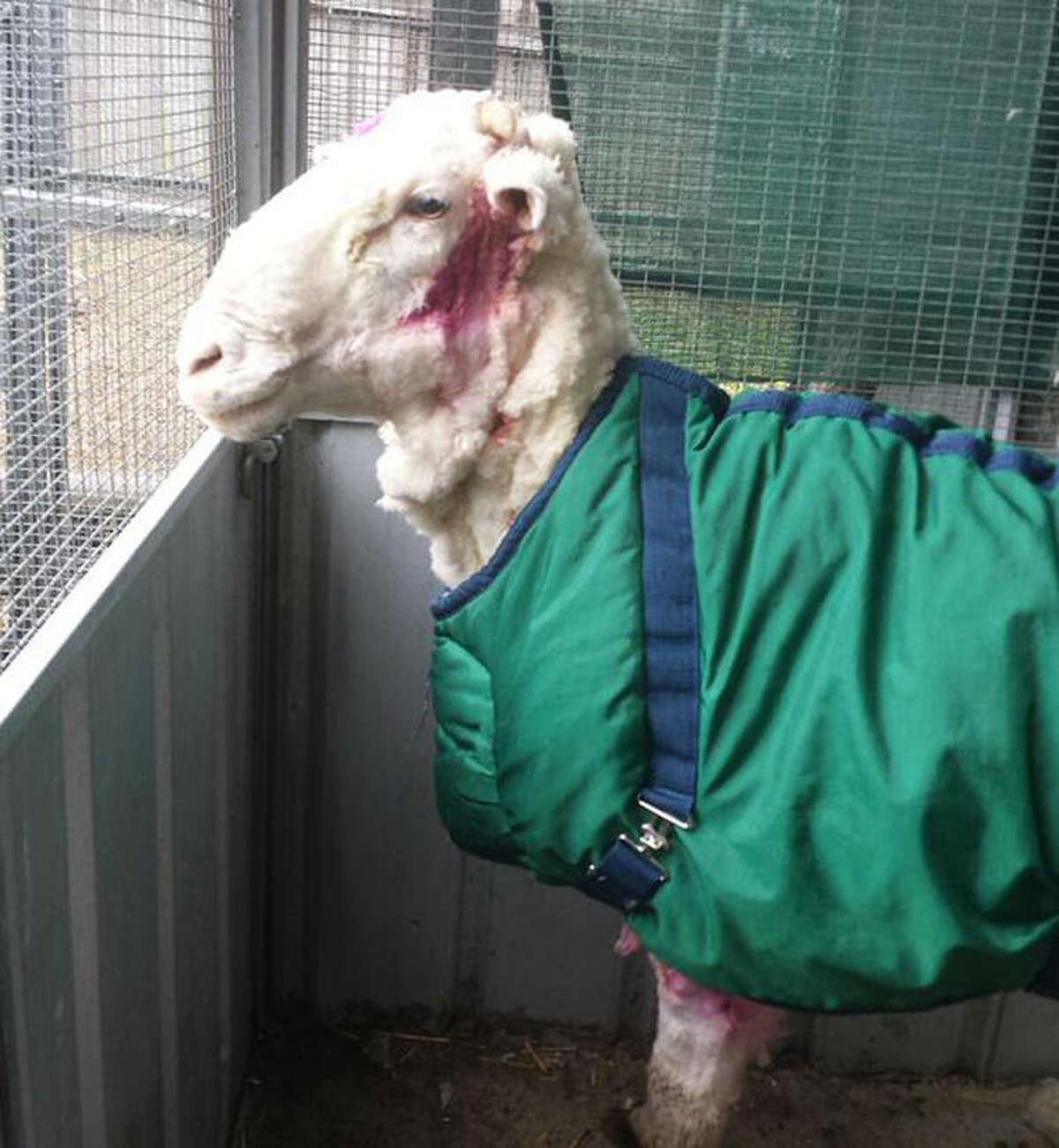 In this photo provided by the RSPCA/Australian Capital Territory, a sheep found in Australian scrubland stands in a pen after it was shorn for perhaps the first time in Canberra, Australia, Thursday, Sept. 3, 2015. The wild, castrated merino ram dubbed Chris, yielded 40 kilograms (89 pounds) of wool - the equivalent of 30 sweaters - and shedding almost half his body weight. (RSPCA/ACT via AP) EDITORIAL USE ONLY, NO SALES