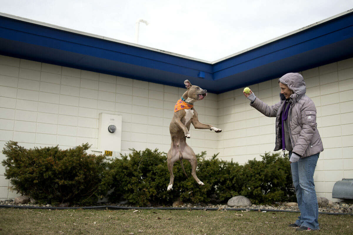 Humane Society of Midland County animal care technician Nicole Norris prepares to throw the ball to Charleston, a 2-year-old pit bull mix, outside of the animal shelter on East Ashman.