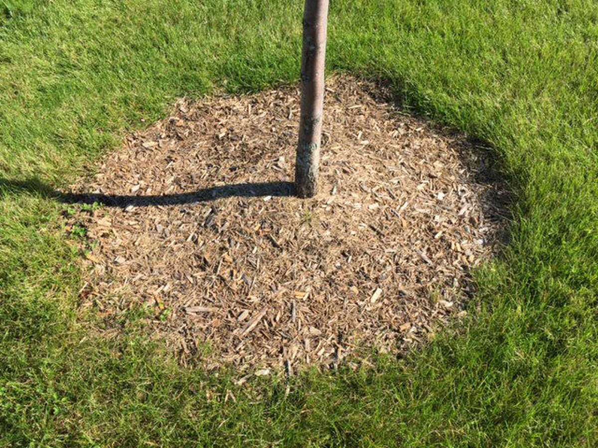 A bed of natural mulch around the tree eliminates the need to trim or mow close to the tree's base.