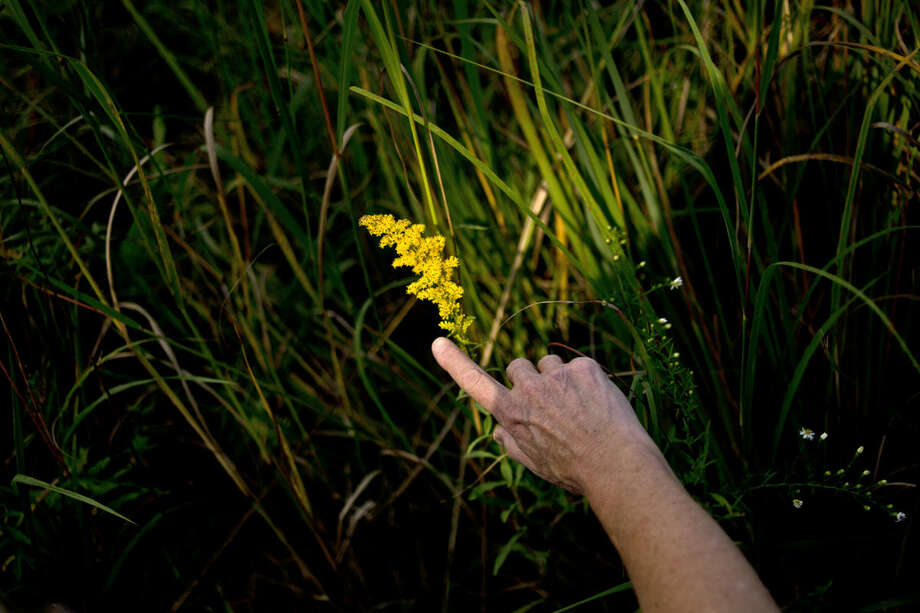 Chippewa Nature Center employee and interpretive naturalist Jeanne Henderson of Bay City points out a Grey Goldenrod during a wildflower walk at the Chippewa Nature Center. Photo: Erin Kirkland | Midland Daily News