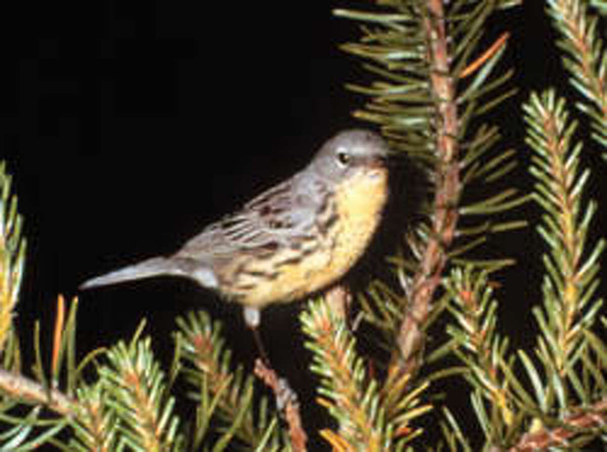 A photo of a Kirtland's warbler from the Michigan Department of National Resources website.