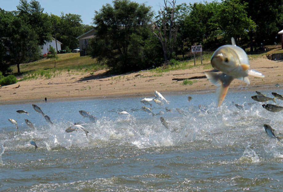 This file photo shows invasive Asian carp, jolted by an electric current from a research boat, jumping from the Illinois River near Havana, Ill.