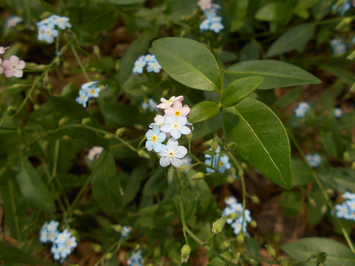 Pink and blue Forget-Me-Nots (Mysotis scorpiodes)