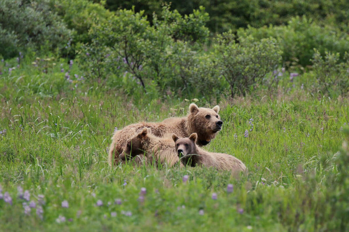 A collared mother brown bear and cubs are observed foraging during observations of the Changing Tides Project on July 13, 2015. In addition to GPS collars, scientists are collecting observations of bear foraging behavior in Katmai National Park & Preserve.
