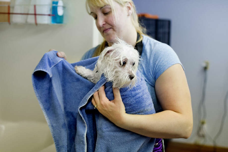 April Robinson dries off Duke, a Maltese, at her business, Poochie's Pit Stop, in Sanford on Wednesday. Robinson has been open for about a month and offers dog and cat grooming. Photo: Neil Blake | Nblake@mdn.net
