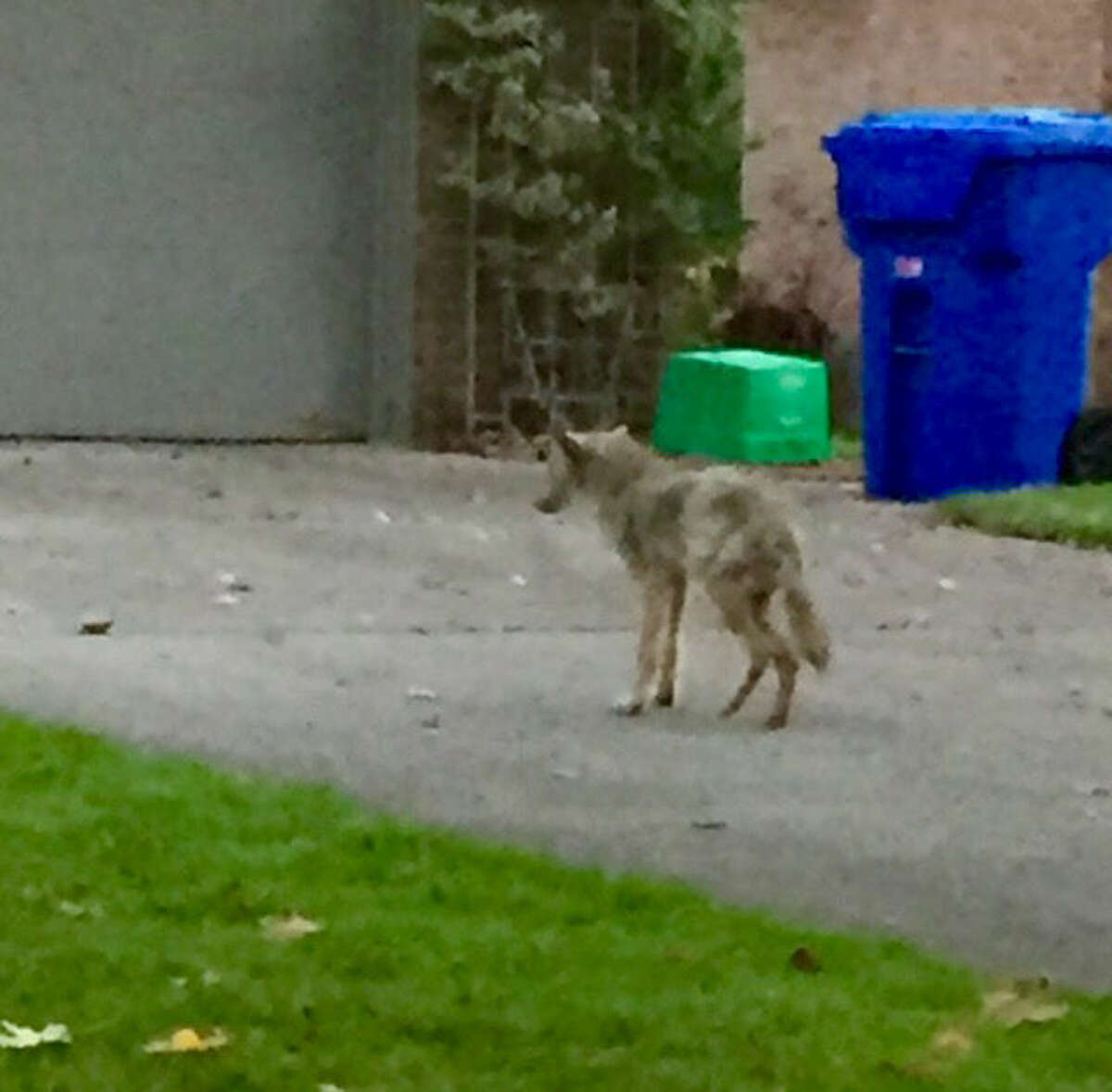 Police received a 911 call about the coyote, which appears to have mange and puffy eyes.