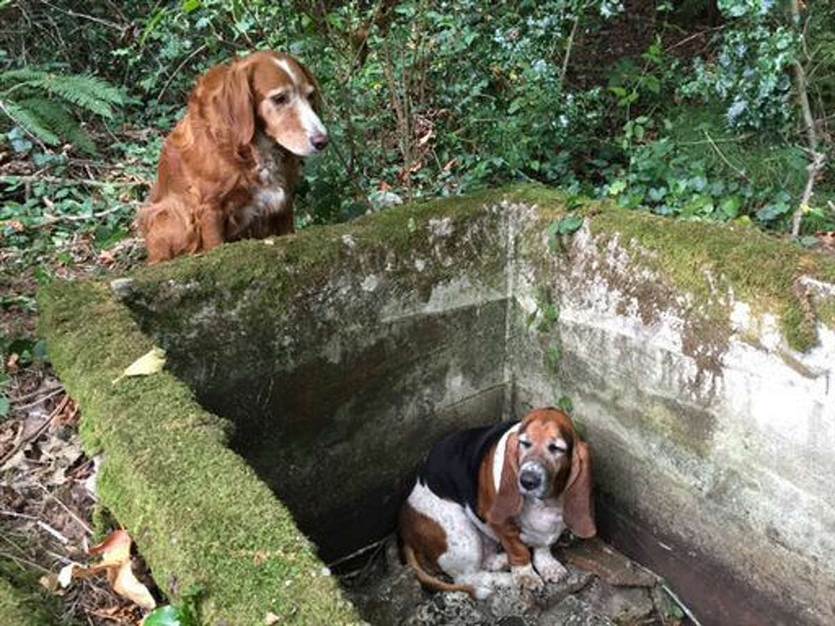 Tillie, left, watches over Phoebe, a basset hound who was trapped after falling into the cistern nearly a week earlier before being rescued by searchers on Vashon Island, Wash. (Amy Carey/Vashon Island Pet Protectors via AP)