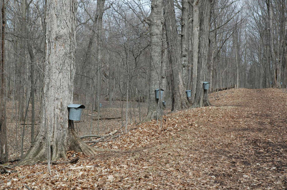 Buckets collect sap from trees, which will be made into maple syrup at the Chippewa Nature Center. Photo: Photo Provided