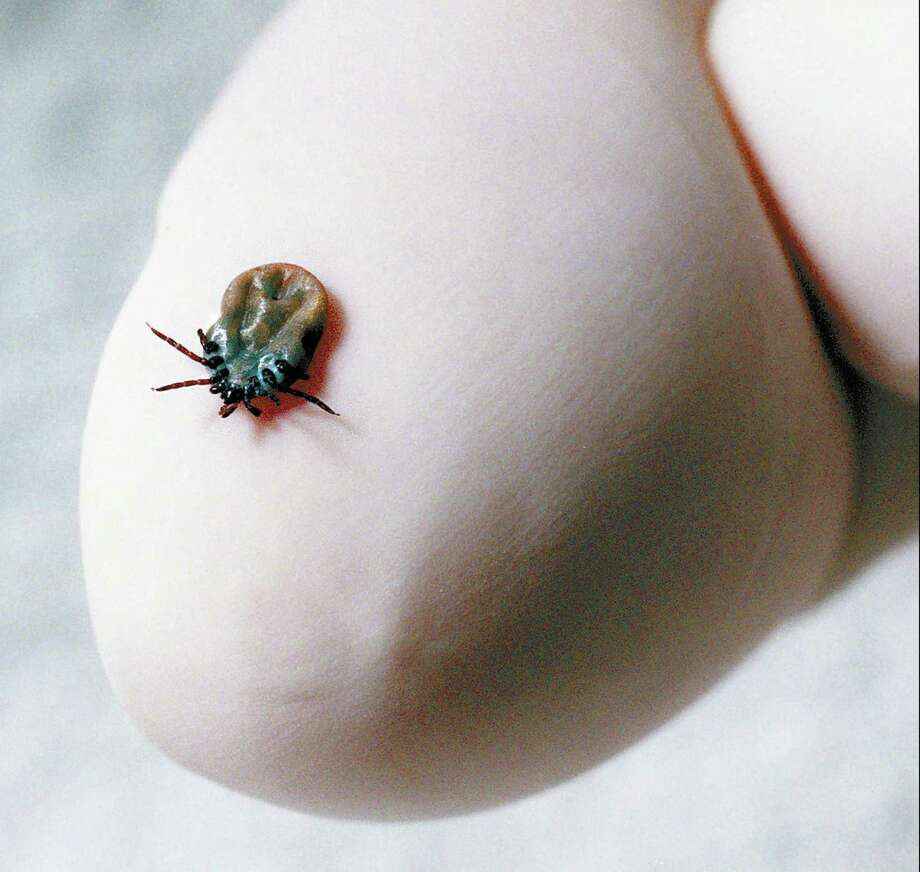 Ticks never went dormant over the winter, how will that affect this year's crop? Photo: Bob Luckey / Greenwich Time