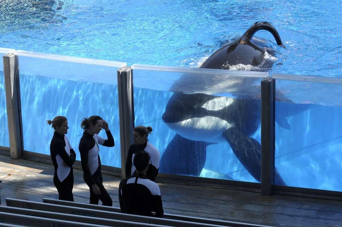 Killer whale Tilikum watches as SeaWorld trainers take a break during a training session at the theme park's Shamu Stadium in Orlando.