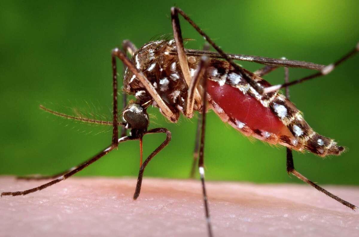 Aedes aegypti.