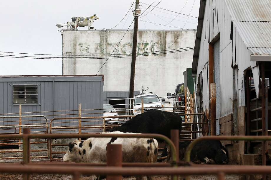 """Cattle are seen at Rancho Feeding Corporation in Petaluma, California, February 10, 2014. The slaughterhouse recalled 8.7 million lbs of beef parts because it used """"diseased and unsound animals"""" and lacked proper federal inspections, the U.S. Department of Agriculture said. A foreman at a Petaluma slaughterhouse was sentenced to three months in federal prison Friday, March 18, 2016, for his role in a scheme. Rancho Feeding Corp.'s owner and two others have also been sentenced. REUTERS/Beck Diefenbach (UNITED STATES - Tags: FOOD BUSINESS SOCIETY) Photo: BECK DIEFENBACH, Reuters"""