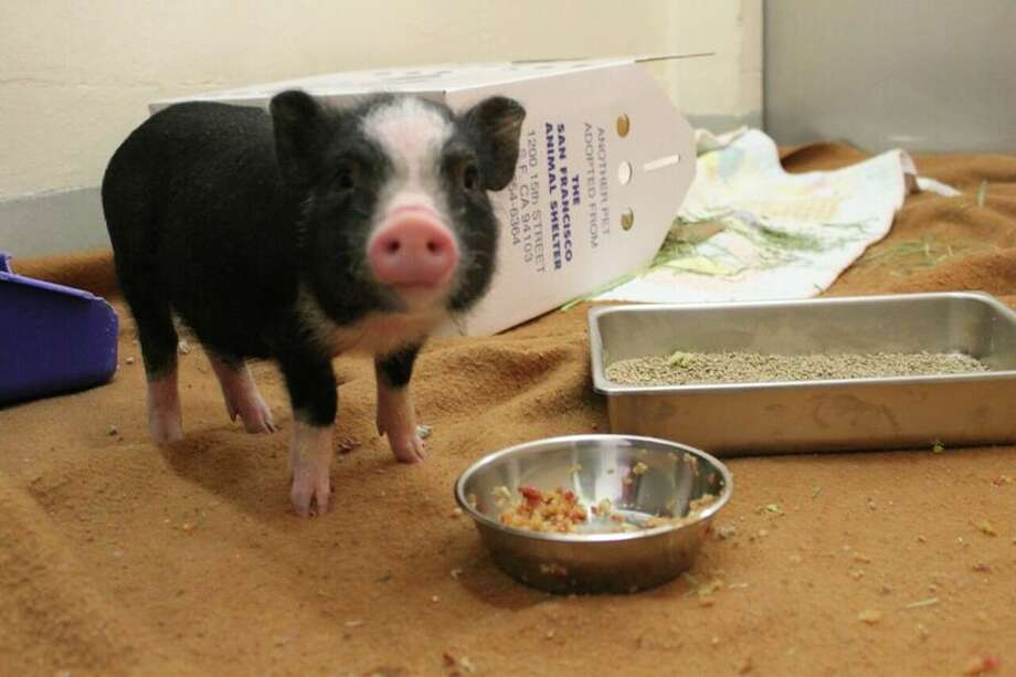 Janice the pig has found a new home with Al Wolf, of the Sonoma County Reptile Rescue. Wolf has adopted the piglet and plans to take her from a San Francisco shelter Satuday morning, officials said.