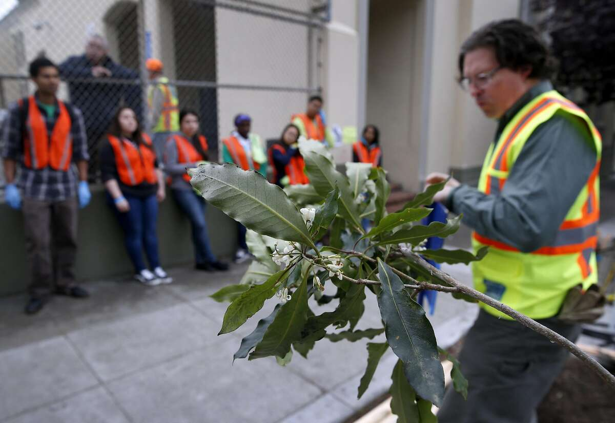 Volunteers receive instructions how to plant a Victorian box tree (foreground) from Department of Public Works urban forester Chris Buck (right) in front of Francisco Middle School in San Francisco, Calif. on Saturday, March 19, 2016. Hundreds of volunteers fanned out throughout the North Beach and Chinatown neighborhoods to plant 36 trees, remove weeds and repaint streetlight poles for this year's Eco Fair.
