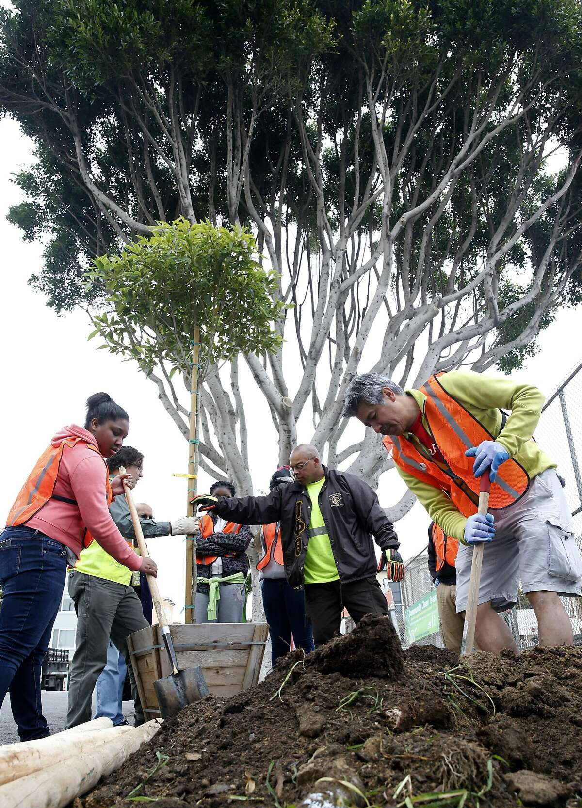 Volunteers plant a tree in front of Francisco Middle School for the Department of Public Works Eco Fair in San Francisco, Calif. on Saturday, March 19, 2016. Hundreds of volunteers fanned out throughout the North Beach and Chinatown neighborhoods to plant 36 trees, remove weeds and repaint streetlight poles.
