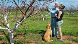 Russ and Lori Studebaker of Studebaker Farms near Fredericksburg examine peach blossoms in their orchard. Russ Studebaker said that the first peaches off of his trees will be ready for picking in the month of May, providing there's no late-season cold or severe hail.