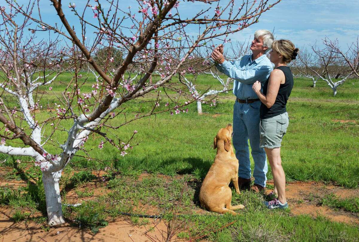 Russ and Lori Studebaker of Studebaker Farms near Fredericksburg examine peach blossoms in their orchard on Tuesday, March 15, 2016. Russ Studebaker said that the first peaches off of his trees will be ready for picking in the month of May.