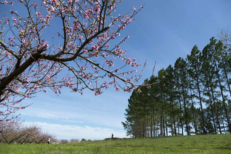 One group of plants that benefited by the cold weather are your fruit trees. In fact, if you have low-chill peach varieties such as Florida King or Springold peaches, they are blooming now. Photo: Billy Calzada /San Antonio Express-News / San Antonio Express-News