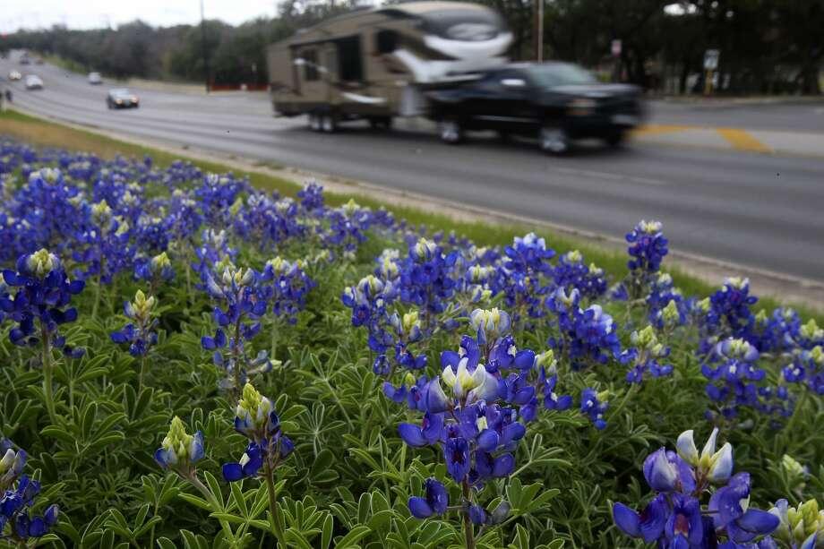 Traffic passes some blooming bluebonnets Feb. 29, 2016, on the 13,000 block of Jones Maltsberger. Photo: John Davenport /San Antonio Express-News / ©San Antonio Express-News/John Davenport
