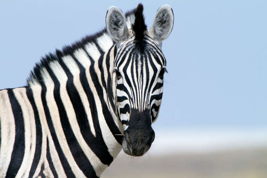 File photo. Two zebras escaped from the UniverSoul Circus in Oakland on Fri. March 18, 2016. They were successfully herded back by circus personal after a police officer saw the pair running north on Hegenberger Road. Photo: Getty / (c) Angelika Stern