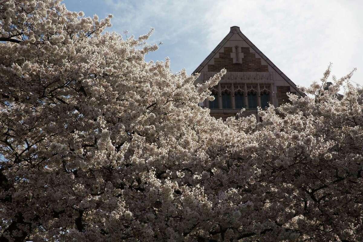 University of Washington's famed Yoshino cherry trees blossom amidst spectators on Friday, Mar. 19, 2016.