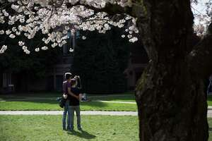 University of Washington's Yoshino cherry trees blossom amidst spectators on Friday, Mar. 19, 2016.