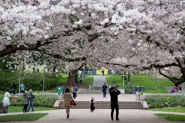 University of Washington's famed Yoshino cherry trees blossom amidst spectators on Friday, Mar. 19, 2016.