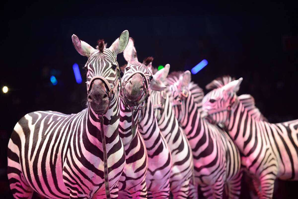 A courtesy photo of the Atlanta-based UniverSoul Circus which features animal acts, cyclists, trapeze artists and clowns. A pair of zebras escaped from the circus, which was set up along Hegenberger Road, near the O.co Coliseum.
