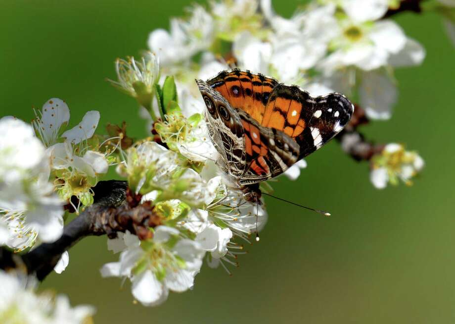 A butterfly alights on a plum blossom at Studebaker Farms near Fredericksburg, Texas, on Tuesday, March 15, 2016. Photo: Billy Calzada, Staff / San Antonio Express-News