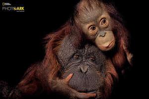 Bornean orangutan and Bornean/Sumatran orangutan cross, Pongo pygmaeus and Pongo pygmaeus x abeli, Houston Zoo