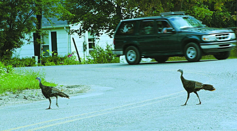 Daily News/GINGER JOHNSON Two turkeys stroll across the intersection of Pine River Road and Homer Street despite traffic.