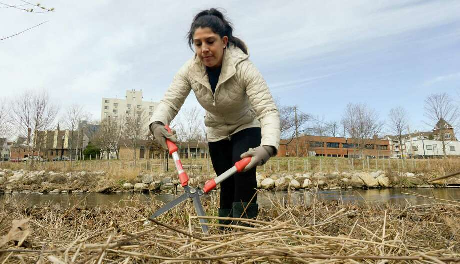 Jessica Kutcher of Stamford uses sheers to cut back over grown brush along banks of a section of the Rippowam River that passes through the Mill River Park in Stamford on March 19, 2016. Kutcher joined a small group of community volunteers to prep the meadows for the spring growth. Photo: Matthew Brown / Hearst Connecticut Media / Stamford Advocate