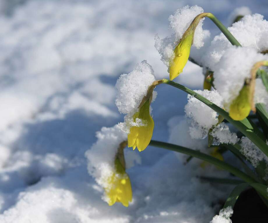 Freshly-fallen snow piles up on top of bloomed daffodils at Bruce Park in Greenwich, Conn. Monday, March 21, 2016. The Greenwich area got an inch or two of snow overnight as temperatures dipped below freezing. The town thawed out Monday and temperatures Tuesday are expected to top 50 degrees. Photo: Tyler Sizemore / Hearst Connecticut Media / Greenwich Time