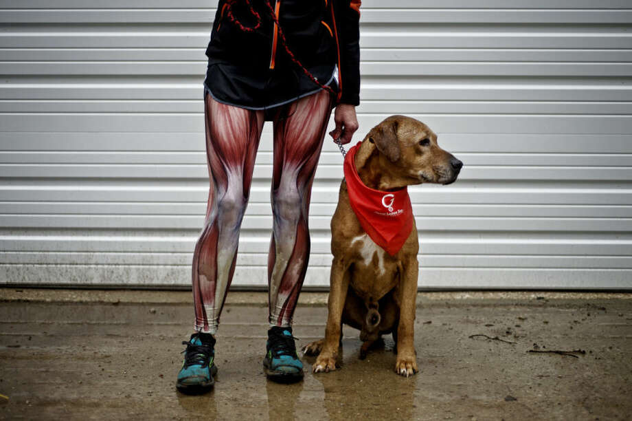 """Tammy MacDonald, of Gladwin, and her eight-year-old Rhodesian Ridgeback, Angus, took part in the second annual Fast & Furriest 5k Run/Walk Saturday morning at the Midland City Forest. Hundreds of runners and walkers joined their dogs to raise funds for the Great Lakes Bay Animal Society to help provide quality care for animals. MacDonald's husband brought back the leg muscle tights after going to the Arnold Sports Festival in Columbus, Ohio, and the couple, both of whom are registered nurses, found them """"fun."""" Angus is named for the the co-founder and lead guitarist of the band AC/DC. Photo: Sean Proctor/Midland Daily News"""