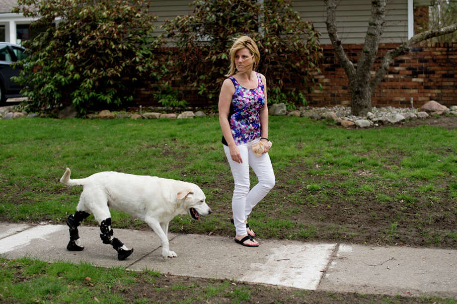 Kris Dexter walks with her dog, Missy, in Midland. Missy, a 10-year-old lab, has Achilles tendon degeneration, which makes walking difficult. The dog wears orthotics on her hind legs to help her walk. / Midland Daily News
