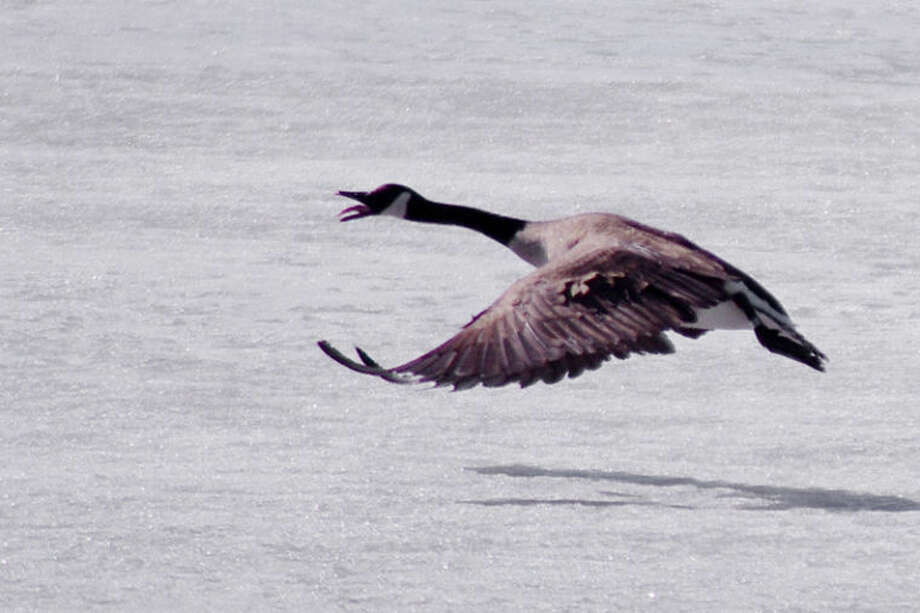 Moments after takeoff, a Canada goose honks while flying over an ice-covered pond Wednesday afternoon in 48-degree weather near the Kohl's store off Midland's Joe Mann Boulevard. Photo: STUART M. FROHM