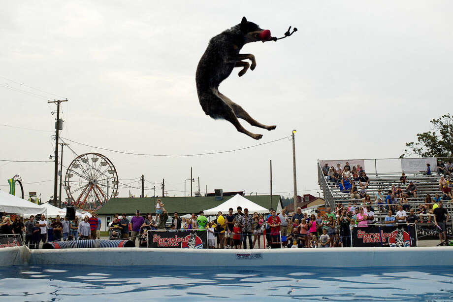 Spectators watch as Ba-Ba-Lu catches a chew toy high in the sky before landing in a pool during a Marvelous Mutts performance at the Midland County Fair. Photo: NICK KING | Nking@mdn.net