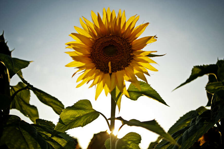 The sun peaks through the stem of a sunflower along North Eastman Road in between Hurley and Bombay roads. Photo: Sean Proctor/Midland Daily News