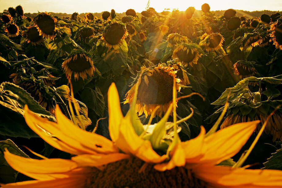 Patrick Owens' field of sunflowers are backlit by the late afternoon sun during a day near the end of August. Owens grew about 500,000 of the plants this year. Photo: Sean Proctor | Sproctor@mdn.net