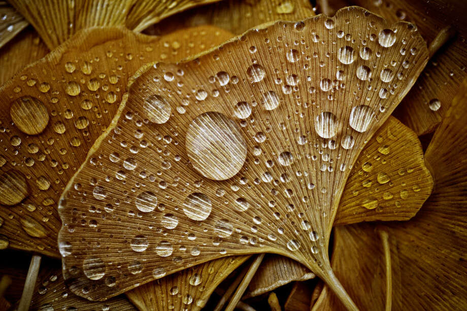 Rain droplets rest on fallen Ginkgo biloba leaves on a recent afternoon near downtown Midland. Photo: SEAN PROCTOR   Sproctor@mdn.net