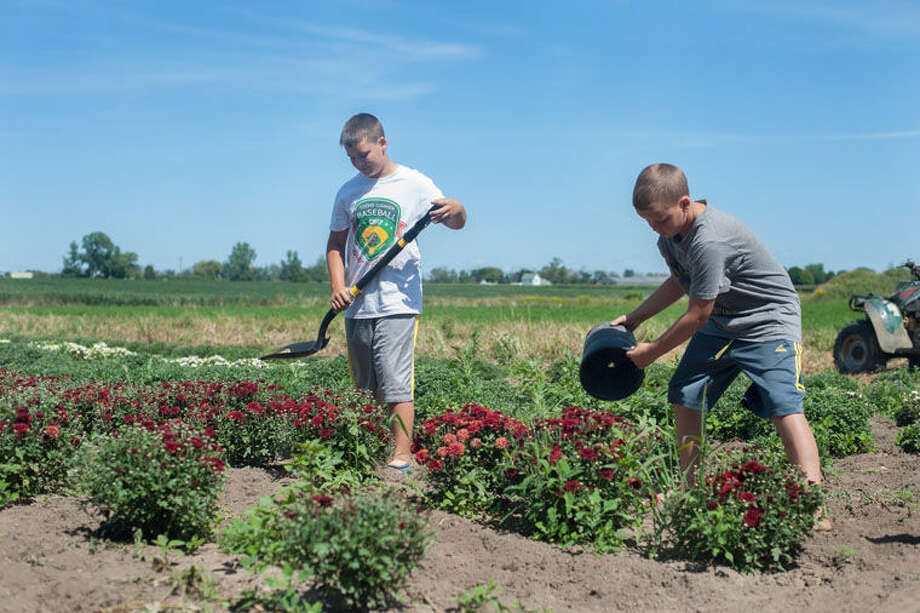 Landon Alexander, left, and his brother, Layne Alexander, work in their plot of mums at their home in Shepherd. The brothers have raised and sold mum plants for the last three years to put away money for college. Photo: AP Photo | The Morning Sun, Holly Mahaffey