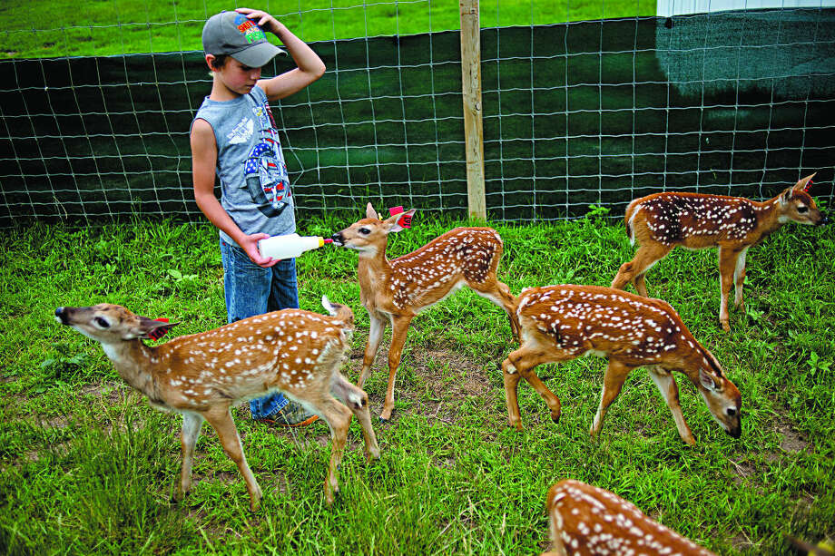 NICK KING | nking@mdn.net William Warner, 8, of Beaverton, feeds the fawn in July at Whitetails Live in Gladwin. Photo: Nick King/Midland  Daily News