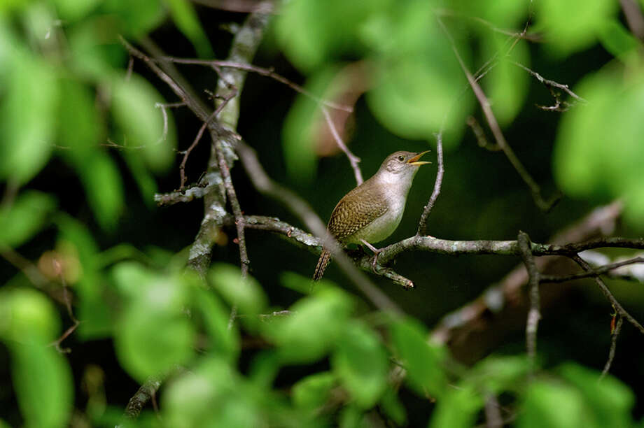 A house wren rests on a branch in retired CMU ornithologist Michael Hamas' backyard. A male and female house wren have made a home in a bird house on his property. Photo: Nick King/Midland  Daily News / Midland Daily News