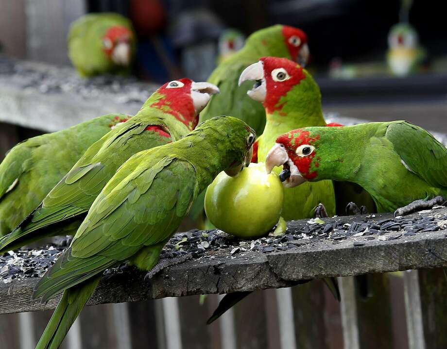 You are used to regularly hearing the (super noisy) wild parrots. Photo: Brant Ward, The Chronicle