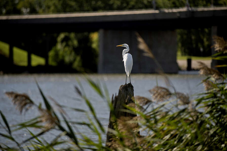 A Great Egret stands on a piece of wood along the bank of the Saginaw River on Monday in Bay City. The large bird has yellow eyes and feeds on fish, frogs, bugs, snakes and crayfish. Photo: NICK KING | Nking@mdn.net